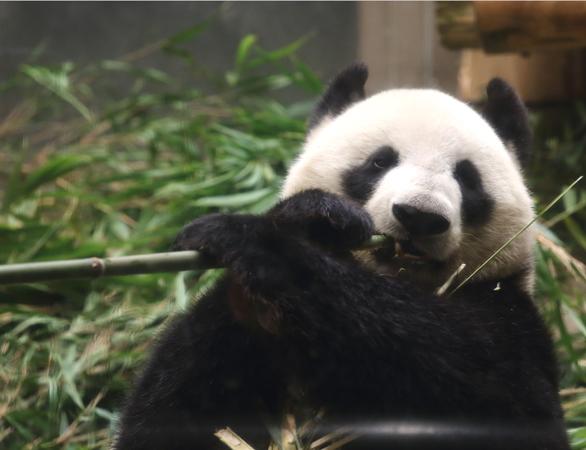 パンダの指、実は5本じゃない!?