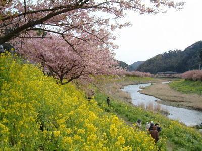 南伊豆「みなみの桜と菜の花まつり」より