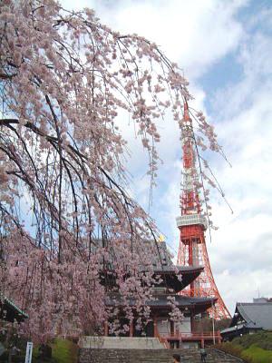 東京タワーにかかるかのようなしだれ桜