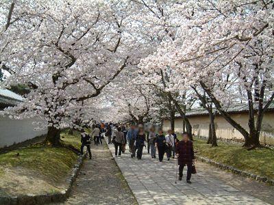 醍醐寺で見られる桜のトンネル