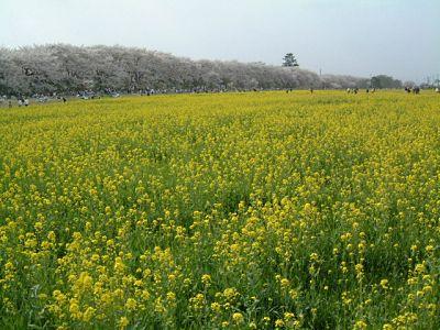 権現堂桜堤の桜と菜の花