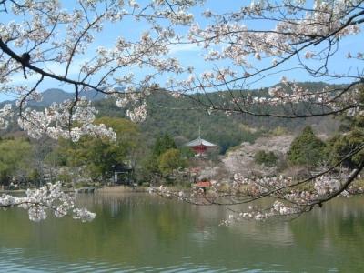 大覚寺・大沢池と桜