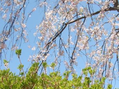 青森の春の花 青森市合浦公園の桜と新緑 北国青森の春は遅く、4月に入って少ししてから... 青森
