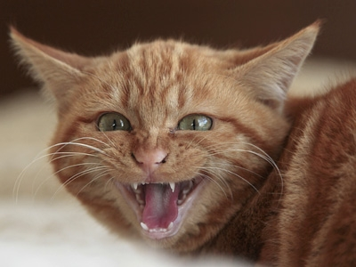 すごく威嚇する猫