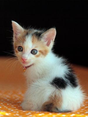 三毛猫の画像 p1_19