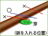 図3.鋏を入れる位置は、芽に近すぎても離れすぎても良くない