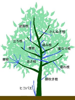 青い枝が、剪定すべき忌み枝となる