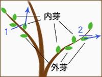 図2.枝を切る際、1で切ると内芽が伸びて不自然になる。2のように外芽を残すようにしよう