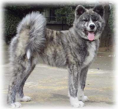 秋田犬の画像 p1_5