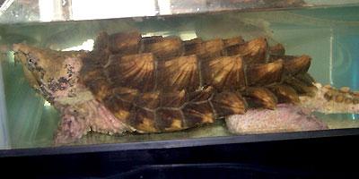 ワニガメの画像 p1_2