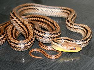シマヘビの画像 p1_37