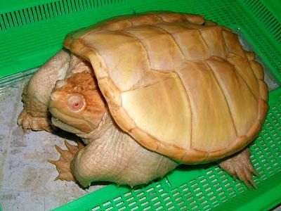 カミツキガメの画像 p1_25