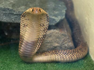 コブラの画像 p1_3