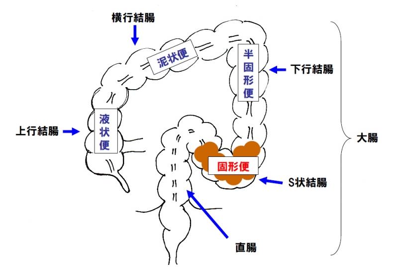 液体状の便は、大腸を通過する間に水分が吸収されて固形便に近づき、下行結腸... 液体状の便は、大