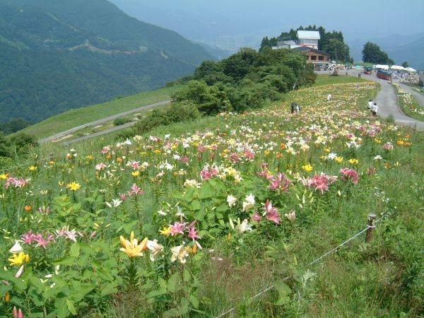 湯沢高原アルプの里のゆり園