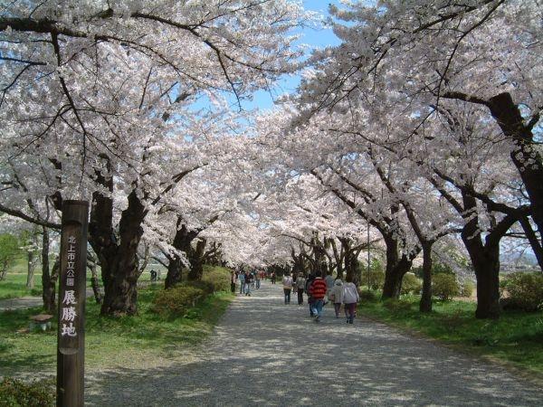 北上展勝地の桜並木