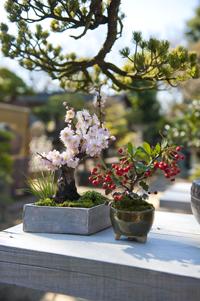 かわいらしい花をたくさん咲かせる盆栽。初心者向けクラスでつぼみの多い鉢を渡し、植え付け方法を教えるのですぐ花を楽しめる。剪定の時期とやり方を間違えなければ、2年目でもきちんと咲く