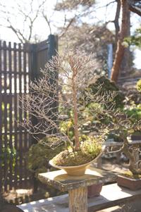 家業を継いだ年から世話をしている山田さんの宝物「心友(しんゆう)」という銘のヒメシャラの盆栽。次男を産んだ年には初めて2輪の花をつけた。「『この人、わかってくれているのね』という気持ちでした」